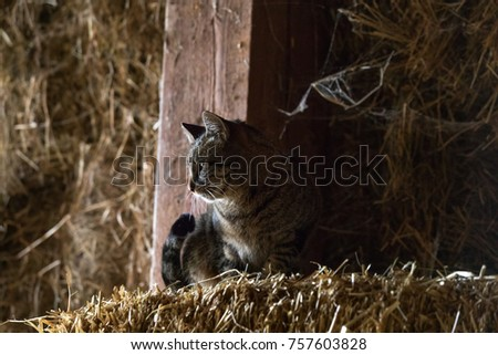 Barnyard tabby cat sits perched on hay inside a barn. Barn inDupage County, Illinois.