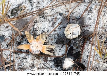 Barometer earthstar ( Astraeus hygrometricus ). North Florida, United States