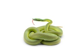 Baron's green racer snake isolated on white background