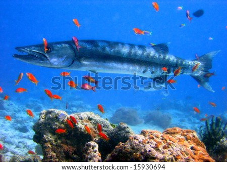 barracuda. Diving on Maldives