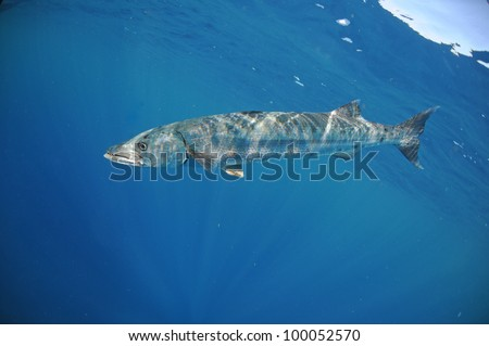 Barracuda fish underwater in ocean #100052570
