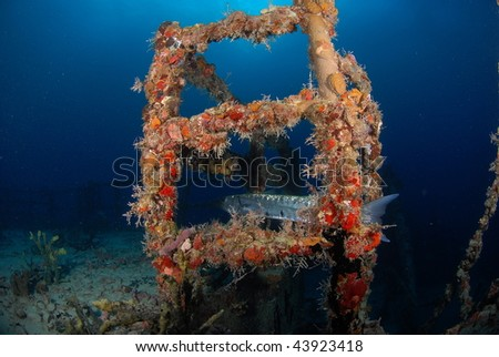 Barracuda hiding on wreck