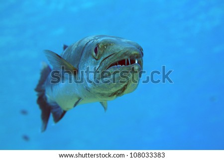 Barracuda in the blue ocean - stock photo