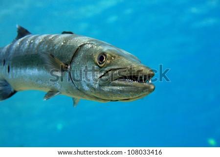 Barracuda in the blue ocean