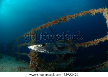 Barracuda looking at diver