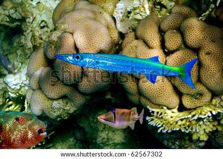 Barracuda, Puffer fish and Rhinecanthus assasi. Koh Chang island, Thailand - stock photo