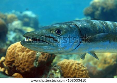 Barrakuda in the coral reef