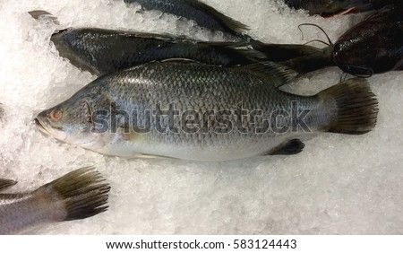 barramundi  Fillet fresh on ice crystals.Sea bass or Snapper freeze on icing.