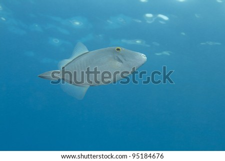 Barred Filefish