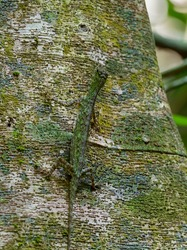 Barred gliding lizard - Draco taeniopterus - Draco is a genus of agamid lizards that are also known as flying lizards, flying dragons or gliding lizards, capable of gliding flight, perfect camouflage.