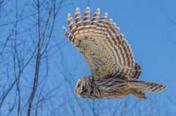 Barred owl flying under the blue sky
