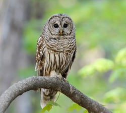 Barred Owl in Closeup Portrait in Spring on Green Yellow Background