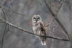 Barred Owl in the early morning