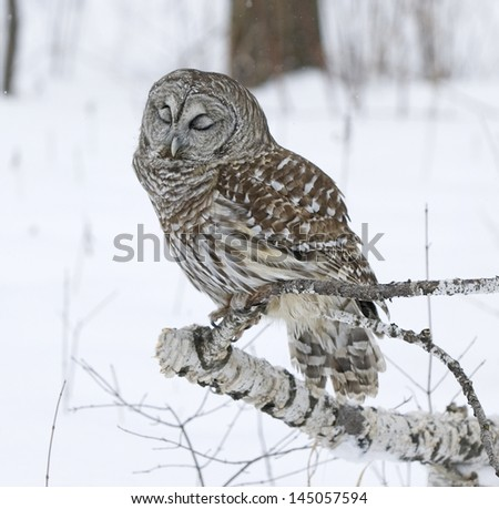 Barred owl in winter. Northern Minnesota
