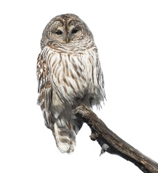 Barred Owl in Winter on White Background, Isolated