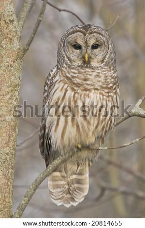 stock-photo-barred-owl-not-captive-20814655.jpg