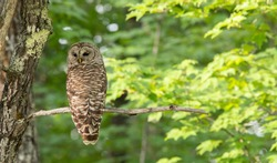 Barred Owl Perched in a Green Tree