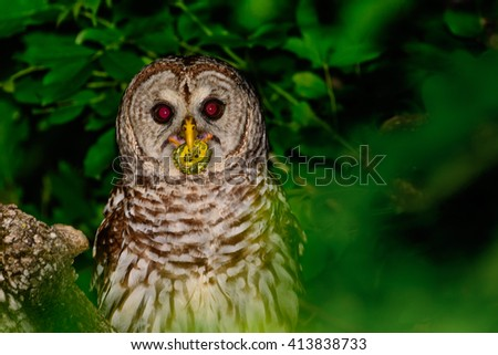 Stock Photo Barred Owl Perched in a Tree With a small Turtle In its Beak