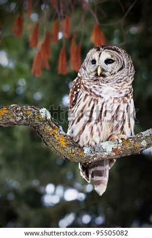 Barred owl perched on a lichen covered branch