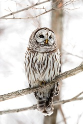 Barred owl perching in a tree branch with a white backgroud