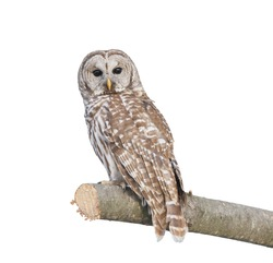 Barred Owl sitting on a branch isolated on white