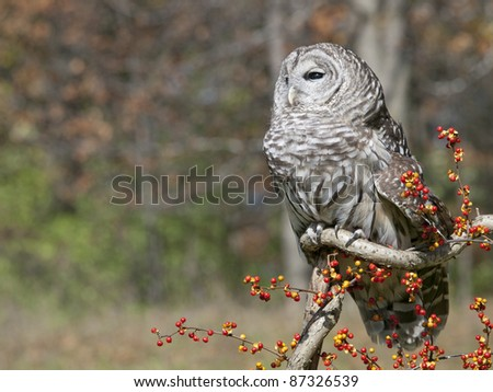 Barred Owl sitting on a twisted branch with bittersweet berries on a beautiful autumn day.