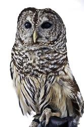 Barred Owl Sitting On Handler's Glove