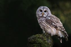 Barred Owl staring at the camera.