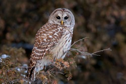 Barred owl Strix varia perched on a branch in winter in Canada