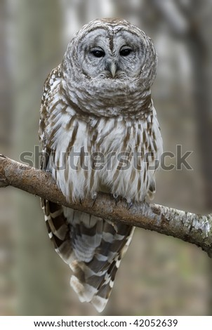 Barred owl (strix varia) perched on birch branch.  The talons are clearly visible below the pantaloon leg feathers.