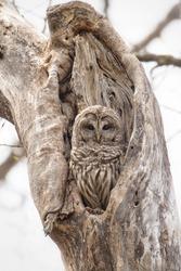 Barred Owl, Strix varia, Taken in wild, Taken in Minnesota, Agnieszka Bacal.