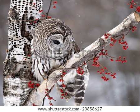 Barred Owl with head turned