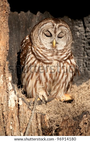 Barred owl with it's eyes closed sitting in a tree as if it were sleeping