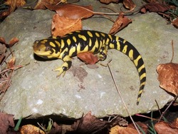 Barred Tiger Salamander, Ambystoma mavortium, giant bright yellow and black salamander of North America