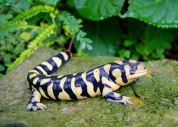 Barred Tiger Salamander, Ambystoma mavortium, very large bright yellow and black salamander of North America