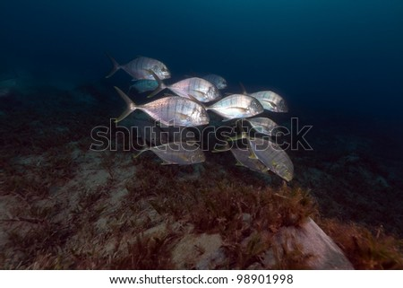 Barred trevally in the Red Sea