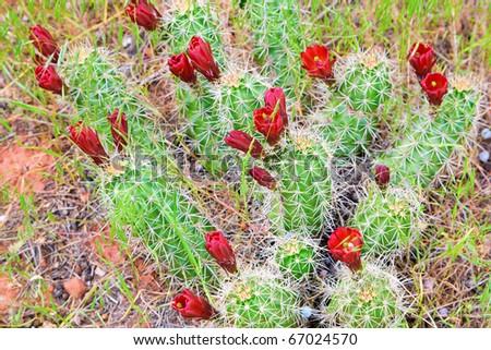 Barrel cacti flowers