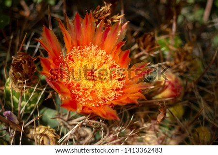 Barrel Cactus flowers in bloom in the desert near Tucson, Arizona.