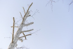 Barren branch of a tree isolated against blue sky, with new twigs growing from it