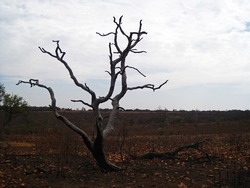 BARREN DEAD GREY TREE WITH CHARRED BASE AFTER A VELD FIRE