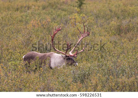 Caribou Bull, Denali National Park, Alaska загрузить