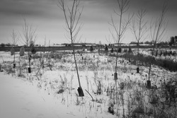 Barren snow covered field with saplings withstanding the cold dark dreary sky and  west winds