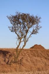 Barren tree against barren landscape and blue sky
