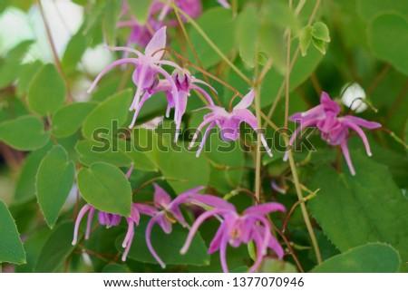 barrenwort、bishop's hat、fairy wings or horny goatweed  (Epimedium grandiflorum) Stockfoto ©