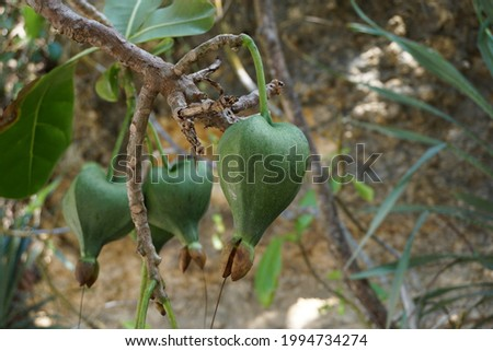 Barringtonia asiatica fruit with a natural background. This plant also calledBarringtonia asiatica, fish poison tree, putat, sea poison tree, Barringtonia and futu Сток-фото ©