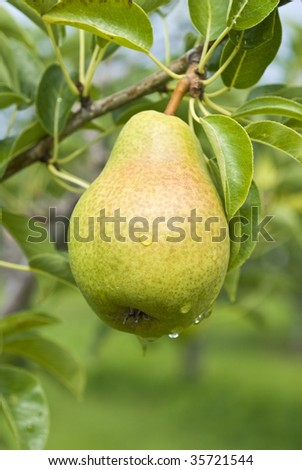 Bartlett Pear Hanging on the Tree