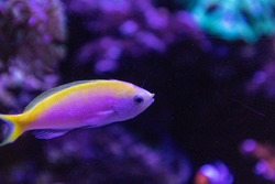 Bartletts Anthias Pseudanthias bartlettorum with pink and yellow colors swims along a coral reef.