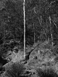 Base of a steep wooded hill of Eucalypts in Slaughter Falls Reserve Mount Cootha Brisbane