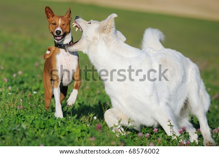 Basenji and White German Shepherd in the play in the spring on the meadow in  show fight Weißer Schweizer Schäferhund Berger Blanc Suisse