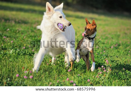 Basenji and White German Shepherd iplay in the spring pleasedly on the meadow